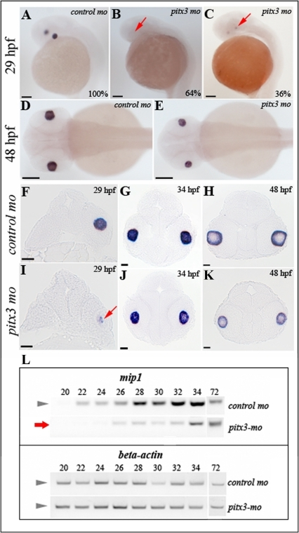 Analysis of mip1 expression in pitx3-mo and control embryos via in situ hybridization and RT-PCR.A, D, F-H. Normal mip1 expression in control-injected embryos at 29-, 34- and 48-hpf. B, C, E, I–K. Altered mip1 expression is observed in pitx3 morphants at 29-hpf with 64% of embryos demonstrating a complete absence of mip1 expression (B) and the remaining larvae showing markedly reduced mip1 expression (C and I). Reduced mip1 expression is also observed in 34- and 48-hpf embryos (E, J, K). Red arrows show sites of expected mip1 expression. Scale bars: A–E: 100 µM; F–L: 20 µM. L. Results of semi-quantitative RT-PCR showing reduced expression of mip1 in pitx3 morphants at early stages of development (red arrow).
