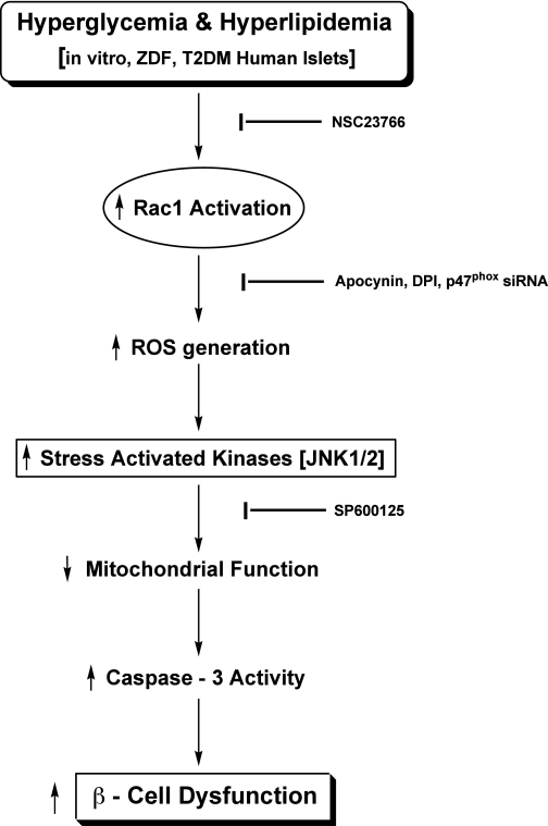 Proposed model for Nox-induced ROS-mediated mitochondrial dysregulation in diabetes. Based on the data accrued from the current studies, we propose a model for the Nox–ROS–JNK signaling in the metabolic dysfunction of the pancreatic β-cell under the duress of hyperglycemia and hyperlipidemia. Glucotoxicity or lipotoxicity induces Nox activation by promoting the phosphorylation of p47phox and Rac1 activation. We have recently demonstrated that inhibition of Rac1 activation by NSC23766, or prenylation inhibitors, attenuates high glucose- or palmitate-induced Nox activation and ROS generation (15,17). Likewise, inhibition of Nox action by apocynin, diphenylene iodonium, or siRNA-p47phox alleviates ROS generation and oxidative stress under the duress of high glucose, high palmitate, or cytokines (15–17). Nox activation and excessive ROS generation leads to the activation of stress-activated kinases (JNK1/2), culminating in mitochondrial dysfunction and caspase-3 activation. In support of this formulation, our current studies using SP600125 demonstrated significant inhibition in glucose-induced JNK1/2 phosphorylation and caspase-3 activation. On the basis of these data, we propose that the collective effects of Tiam1-mediated Rac1 activation, p47phox phosphorylation, Nox holoenzyme assembly, and associated ROS generation, followed by inhibition of ERK1/2 and activation of JNK1/2, result in mitochondrial dysregulation and caspase-3 activation leading to the islet β-cell dysfunction and demise in diabetes. DPI, diphenylene iodonium; siRNA, short interfering RNA; T2DM, type 2 diabetes mellitus.