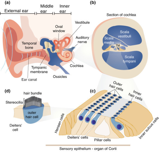 Schematic Diagram Of The Human Ear A The Ear Is Comp Open I