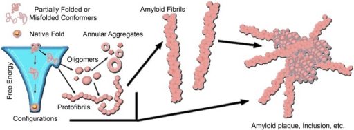 A generic aggregation scheme for amyloid-forming proteins. Proteins fold into their native structure, which is typically a low free energy configuration. However, the energy landscape for protein folding often can have localized minima in which a protein can become trapped into a misfolded conformation, which can lead to aggregation into β-sheet rich amyloid fibrils. The formation of fibrils often proceeds through a heterogeneous mixture of intermediate species, including oligmers and protofibrils. Off-pathway aggregates can also form, such as annular aggregates. These aggregates accumulate into amyloid plaques or inclusions in the diseased brain. The aggregation pathway for any given amyloid-forming protein can vary considerably depending on the protein and its folding environment.