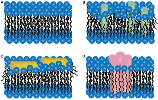 Schematic representations of potential mechanisms of amyloid/lipid association. (A) A schematic representation of simplified, undisrupted bilayer is presented. This bilayer structure can be perturbed by (B) amyloid-protein insertion or (C) association of amphiphilic α-helices lipid-binding domains. Such scenarios could lead to membrane thinning and non-specific membrane leakage. (D) Many amyloid-forming proteins have been shown to form pore-like structures that can act as unregulated ion-selective channels.
