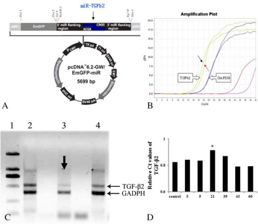 Recombination plasmid for Tg mice with TGF-β2 down-regulation. A: showed the schedules of recombination plasmid for pcDNA6.2-GW/EmGFP-miR of TGF-β2 gene silence, which composed with 5699 nucleotides. The 293T cells were transfected with the transgenic vectors (pcDNA3.1 (+) of pcDNA6.2-GW/EmGFP-miR-TGF-β1). RT-PCR was employed to evaluate the effects of PDGF-BB down-regulation transformants. B: showed the amplification plot of RT-PCR. Red arrows showed the selected cell lines as they had the lowest levels. Black arrow indicated the control ones. C: shows the represented bands of semi-quantity PCR products electrophoresed in 1% agarose gel stained with EB. Lane 1: DL2000 DNA Marker (from up to down: 2000 bp, 1000 bp, 750 bp, 500 bp, 250 bp, 100 bp respectively); Lane 2–4: 293T cells transfected with silence expression vector for TGF-β2 gene (lane 3: NO.21). Arrows in Figure 5C revealed the target transformants (NO.21) for TGF-β2 expressional silence as they had the lowest levels.