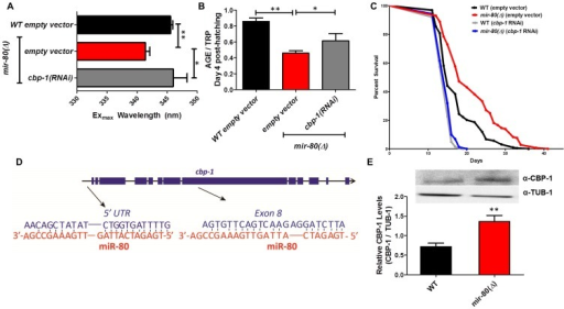 CBP-1 is critical for mir-80(Δ) healthspan benefits, and is a candidate direct binding target of miR-80.Fig. 6A. cbp-1(RNAi) in the mir-80(Δ) background reverses the DR Exmax shift. We grew age-synchronized animals under standard RNAi feeding conditions (20°C, HT115) and measured age pigments at Day 4 (50 animals per RNAi clone). We recorded Exmax as the highest peak detected by the Datamax software package suite (Horiba Scientific). Graphs represent cumulative data from 3 independent trials. Error bars represent ±S.E.M. Data were compared using 2-tailed Student's T-test (** p<0.001, * p≤0.055 compared to mir-80(Δ) empty vector). cbp-1(RNAi) Exmax is comparable to that of ad lib wild type (p = 0.729). Note that cbp-1(RNAi) treatment of WT does not change Exmax (data not shown), so this effect is specific to the DR signature of mir-80(Δ). Fig. 6B. cbp-1(RNAi) in the mir-80(Δ) background partially reverses low age pigment levels. We grew age-synchronized animals under standard conditions (20°C, HT115) and measured total age pigment fluorescence at day 4 (50 animals per RNAi clone), normalized to total tryptophan fluorescence as in ref. [19]. Graphs represent cumulative data from 3 independent trials. Error bars represent ±S.E.M. Data were compared using 2-tailed Student's T-test (** p<0.05, * p<0.1 compared to mir-80(Δ)+empty vector RNAi). Note that cbp-1(RNAi) treatment of WT induces modest reduction of age pigment levels (p = 0.01, data not shown). Fig. 6C. mir-80(Δ) longevity is dependent on cbp-1. We placed age-synchronized L1 larvae on empty vector control (pL4440) plates under standard conditions (20°C) until Day 4 (day 1 of adult life) at which time animals were moved to either empty vector control (L4440) or cbp-1(RNAi) plates. At day 9, we placed 10 healthy animals per plate (≥40 per strain per trial), and we scored viability as movement away from pick touch on the indicated days. The graphs represent data combined from 3 independent trials. Statistics are calculated using the Log-rank Test. cbp-1(RNAi) decreases the lifespan of mir-80(Δ) (p<0.0001 compared to vector control. Because RNAi knockdown is inefficient the nervous system (see [59]), the profound effects of cbp-1(RNAi) suggest that critical cbp-1/mir-80 regulation occurs outside of the C. elegans nervous system. Fig. 6D. The cbp-1 transcript includes two predicted binding sites for miR-80. Exon structure of cbp-1 is indicated by thick blue bars, introns in thin black lines (see WormBase for details). The rna22 algorithm [10], which searches for target sites outside the 3′UTR, predicts that miR-80 binds cbp-1 within the 5′ UTR and within exon 8. The potential alignments of miR-80 (red) to C. elegans cbp-1 (blue) sequences are indicated. Note that the seed match to the exon 8 region is a perfect 10 bp match for C. elegans, and that the target sequence is conserved in mouse and human CBP1 (see Fig. S7). Fig. 6E. Endogenous CBP-1 protein levels are increased in 7 day old mir-80(Δ) mutants. We grew age-synchronized animals under standard conditions (20°C, OP50-1) and extracted total protein at Day 7 (100 animals per strain) for Western blot analysis (top). Graphs represent CBP-1 levels for each strain normalized to own TUB-1 levels. Error bars represent ±S.E.M. Data were compared using 2-tailed Student's T-test (** p<0.005). The graphs represent data combined from 3 independent trials. We noted that during young adulthood, native levels of CBP-1 seemed comparable to WT in mir-80(Δ), suggesting that additional regulatory controls are exerted on CBP-1 expression levels in development or early adulthood.