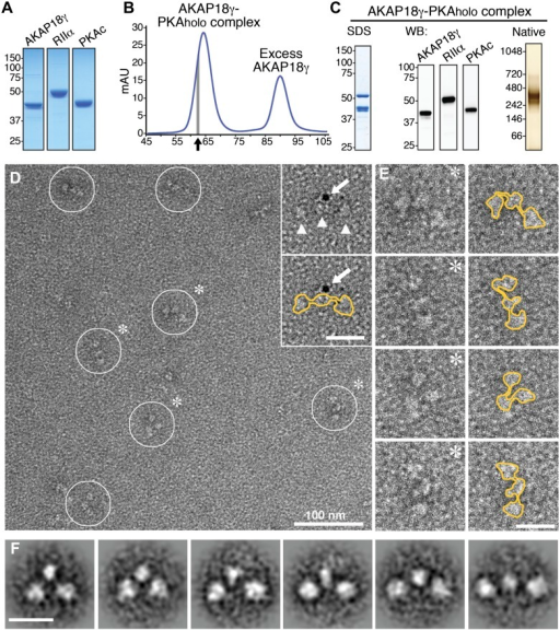 Purification and electron microscopy of the AKAP18γ–PKAholo complex.(A) SDS-PAGE and Coomassie staining of purified individual complex components. (B) Size-exclusion chromatography (SEC) trace for purification of the assembled AKAP18γ–PKAholo complex. Fractions at the leading edge of the peak (indicated by gray bar) were chosen for further analysis. (C) SDS-PAGE (left), western blot (middle) and native gel electrophoresis (right) obtained from the SEC peak elution fraction (arrow in B). (D) Electron micrograph of the negatively stained AKAP18γ–PKAholo complexes (circles). Triangles indicate the three major densities of the AKAP18γ–PKAholo complex. Inset, shows labeling with a gold nanoparticle (arrow) conjugated to an AKAP18γ-streptavidin moiety (arrow). (E) Left, enlarged images of individual AKAP18γ–PKAholo complexes (denoted by asterisks in D). (E) Right, highlighted outline (yellow) of particle shapes. (F) Projection averages of the AKAP18γ–PKAholo complex classified into distinct conformations using ISAC (Yang et al., 2012). Unlabeled scale bars represent 25 nm.DOI:http://dx.doi.org/10.7554/eLife.01319.003