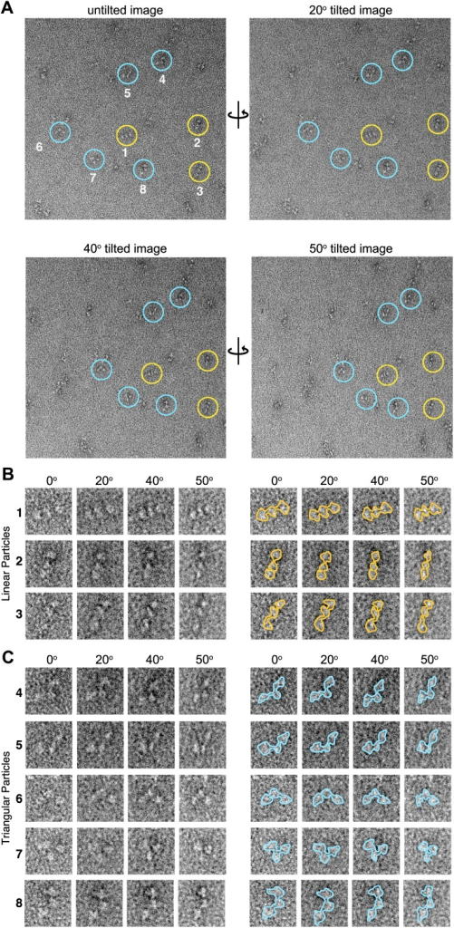 Tilted-series electron microscopy data.(A) Example electron micrographs collected using a series of image tilts (α = 0°, 20°, 40°, and 50°). Colored circles indicate positions of the numbered particles in the tilt series. (B and C) Left, zoom-views of circled particles in (A). At all tilt angles particles are readily classified as either linear (B, yellow) or as non-linear 'triangular' (C, blue) conformations. Right, particle boundaries are outlined for clarity. The tilted-series data was used to provide unique particle 'views' used for angular reconstitution methods applied in IMAGIC (van Heel et al., 1996) for initial 3D reconstruction of the AKAP18–PKAholo models.DOI:http://dx.doi.org/10.7554/eLife.01319.006