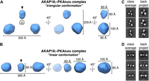 Three-dimensional EM maps of the AKAP18γ–PKAholo complex.Rotated views of the 3D reconstructions for the AKAP18γ–PKAholo complex determined to 35 Å resolution. (A) In the triangular conformation, the three spherical densities are arranged in a pseudo-symmetric fashion, with the two peripheral densities extending 300 Å apart and at an angle of 100° with respect to the central density. The smaller central density is 60 × 60 × 80 Å and the two larger peripheral densities are 100 × 100 × 85 Å. (B) In the linear conformation, the three spherical densities are arranged in a linear fashion, with the two peripheral domains extending 385 Å apart. (C and D) Back-projections (right) of the calculated 3D maps are compared to class averages (left) used for generating the initial reconstructions in IMAGIC (van Heel et al., 1996).DOI:http://dx.doi.org/10.7554/eLife.01319.007