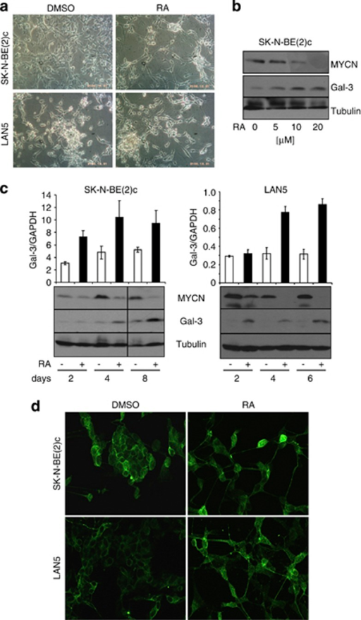 Increased Gal-3 expression and nuclear localization are induced by RA. (a) Phase contrast microphotographs documenting the morphological differentiation and the induction of neurites by RA on the N-type SK-N-BE(2)c and LAN-5 NB cell lines. Along with this effect, RA also induced the well-known downregulation of MYCN, and a dose dependent (b) Gal-3 increase at the mRNA and protein level as evidenced by Q-PCR (c, upper panel) and immunoblotting (c, lower panel), respectively, in both N-type NB cell lines. (d) Immunofluorescence analysis of Gal-3 expression on fixed SK-N-BE(2)c and LAN-5 cells showed that RA treatment promoted Gal-3 localization to the cell nucleus