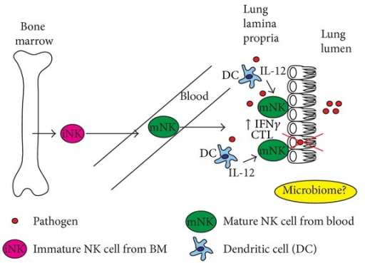 Lung mucosa NK cells. NK cells found in the lung during the steady state exhibit a mature phenotype being CD27loCD11bhi in mice and CD56dim⁡ CD16+ in humans suggesting that after development in the bone marrow immature (iNK, pink) and or mature (mNK, green) NK cells found in the blood home to the lung and may not require a specific signal or cell-cell interaction in a secondary lymphoid organ to migrate. Lung microbiome could impact NK cell development and/or function. During infection by a pathogen (red circle), dendritic cells in the lamina propria of the lung are triggered via pattern recognition receptors (PRRs) to produce inflammatory cytokines including IL-12 and IL-23. This in combination with recognition of infected cells by activating receptors (Ly49 mouse, KIR human, NKp both) on NK cells results in activation of resident NK cell populations to produce IFNγ, IL-17, and be cytolytic (CTL).