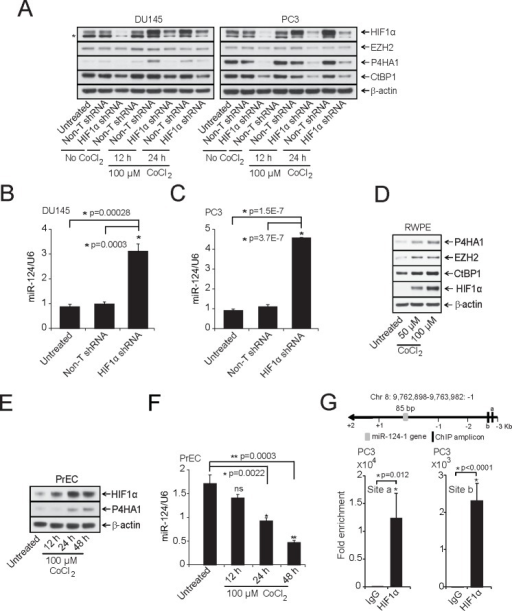 HIF1α modulates P4HA1 expression by down-regulating miR-124A, Immunoblot analysis of HIF1α -DU145 and -PC3 knockdown lysates under normoxia or in the presence of the hypoxia-mimetic agent CoCl2. HIF1α knockdown significantly reduced P4HA1, CtBP1 and EZH2. β-actin was used as a loading control and * denotes an additional band detected by the antibody. B and C, qPCR analysis of miR-124 in HIF1α-stable knockdown DU145 and PC3 cells. D, Benign prostate cancer cell line RWPE was treated with indicated concentrations of CoCl2 for 12 h and HIF1α, CtBP1, EZH2 and P4HA1 protein levels were measured by immunoblot analysis. E, Immunoblot analysis of HIF1α and P4HA1 in CoCl2-treated normal prostate cell line PrEC. F, miR-124 is down-regulated under hypoxia-mimicking conditions. qPCR analysis of miR-124 in samples from (E); ns, not significant. G, Conventional Chromatin immunoprecipitation (ChIP)-PCR analysis for the HIF1α occupancy on miR-124-1 promoter in PC3 cells following induction with 100 μM CoCl2 for 12 h. All bar graphs are shown with ± SEM. See also Supplementary Figures S5 – S7.