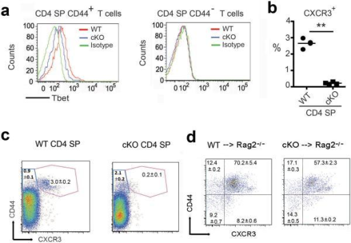 Jmjd3 regulates CD44 and CXCR3 in CD4+ T cells(a) T-bet protein expression in WT and Jmjd3 cKO CD44+ and CD44− CD4 SP thymocytes. (b) Percentage of CXCR3+ cells in CD4+ SP T cells from WT and Jmjd3 cKO mice (data expressed as mean + SD of three independent experiments, *p < 0.05, **p < 0.01). (c) Frequency of CD44 and CXCR3 in WT and Jmjd3 cKO CD4+ SP thymocytes. (d) Naïve CD4+ T cells (2 × 106) derived from WT and Jmjd3 cKO mice were i.v. injected into irradiated Rag2−/−γc−/− mice (n = 3 for each group). Ten days later, frequency of CD44+CXCR3+-expressing T cells isolated from splenocytes. (representative of three independent experiments,*p < 0.05, **p < 0.01 determined by Student's t-test).