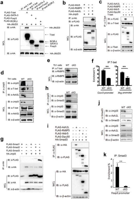 Jmjd3 regulates Th1 and Th2 differentiation by facilitating the T-bet-RbBP5 and Smad3-Ash2L interaction(a) 293T cells were cotransfected with HA-Jmjd3 and FLAG-tagged T-bet, GATA-3, Foxp3, and RORγT plasmids. Whole cell lysates (WCL) were immunoprecipitated with anti-T-bet, anti-GATA-3, anti-Foxp3, and anti-RORγT antibodies and immunoblotted with anti-FLAG antibody. (b) 293T cells were cotransfected with HA-Jmjd3 and FLAG-tagged Wdr5, Ash2L, or RbBP5. WCL were immunoprecipitated with anti-HA beads and immunoblotted with anti-FLAG antibody. (c) 293T cells were cotransfected with T-bet and FLAG-tagged Wdr5, Ash2L, Dpy30 or RbBP5. WCL were immunoprecipitated with anti-T-bet antibody and protein (A+G), and immunoblotted with anti-FLAG antibody. (d) Cell lysates were obtained from WT and Jmjd3 cKO Th1 cells and immunoprecipitated with anti-Jmjd3 antibody and protein (A+G). The immunoprecipitated product was immunoblotted with anti-Jmjd3, anti-T-bet, and anti-Ash2L antibodies. (e) WCL were obtained from WT and Jmjd3 cKO Th1 cells and immunoprecipitated with anti-T-bet antibody and protein (A+G). The immunoprecipitated product was immunoblotted with anti-RbBP5 antibody. (f) ChIP-qPCR analysis of T-bet binding to the promoter regions of Cxcr3 and Ifng genes in WT and Jmjd3 cKO Th1 cells. (g) WCL obtained from 293T cells cotransfected with HA-Jmjd3 and FLAG-Smad1, FLAG-Smad2, or FLAG-Smad3 plasmids were immunoprecipitated with anti-HA beads. The immunoprecipitated product was immunoblotted with anti-FLAG and anti-HA antibodies. (h) WCL and protein isolates from WT and Jmjd3cKO CD4+ T cells derived from thymus. (i) 293T cells were cotransfected with HA-tagged Smad3 and FLAG-tagged Wdr5, Ash2L, Dpy30 or RbBP5. WCL were immunoprecipitated with anti-FLAG beads and immunoblotted with anti-HA antibody. (j) Cell lysates were obtained from WT and Jmjd3 cKO Treg cells and immunoprecipitated with anti-Smad3 antibody. The immunoprecipitated product was immunoblotted with anti-Jmjd3, anti-Smad3 and anti-Ash2L antibodies. (k) ChIP-qPCR analysis of Smad3 binding to the promoter regions of Foxp3 gene in WT and Jmjd3 cKO Treg cells.