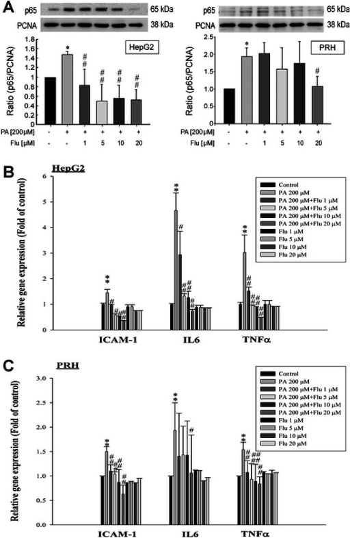 Effects of fluvastatin (Flu) on NFκB p65 nuclear translocation, mRNA expression levels of pro-inflammatory genes in HepG2 cells and primary rat hepatocytes (PRHs). (A) Pre-treatment with Flu for 2 hr reduced the NFκB p65 nuclear translocation in PA-treated HepG2 cells and PRHs at 6 hr after treatment. *p < 0.05 vs. control; #p < 0.05 and ##p < 0.01 vs. PA treatment (n = 3). (B) Flu treatment inhibited the mRNA expressions of ICAM-1, IL-6 and TNF-α of PA-treated HepG2 cells while there were no significant differences in the expressions of ICAM-1, IL-6 and TNF-α between the control group and the group treated with Fluvastatin alone. **p < 0.01 vs. control; #p < 0.05 and ##p < 0.01 vs. PA treatment (n = 3). (C) Flu treatment decreased the mRNA expressions of ICAM-1, IL-6 and TNF-α of PA-treated PRHs, but no significant differences in the expressions of these markers between the control group and the group treated with Fluvastatin alone were noted. **p < 0.01 vs. control; #p < 0.05 and ##p < 0.01 vs. PA treatment (n = 3).
