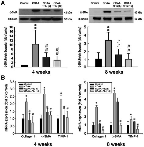 Anti-fibrotic effects of fluvastatin (Flu) on CDAA rats. (A) Representative result showed that Flu treatment reduced the protein expression of α-SMA in the liver tissues in CDAA rats at 4 and 8 weeks. **p < 0.01 vs. control rat; ##p < 0.01 vs. CDAA rat. (B) Quantitative PCR analyses for the expressions of Collagen I, α-SMA, and TIMP-1 transcripts in control rats, CDAA rats and CDAA rats receiving Flu (5 or 10 mg/kg/day). Densities of Collagen I, α-SMA, and TIMP-1 to G3PDH mRNA levels were analyzed by computerized densitometry and are expressed as the indicated ratios, respectively. Flu treatment attenuated the expressions of these pro-fibrogenic genes. The number of rats in each column was 8. *p <0.05 vs. control rat; #p < 0.05 vs. CDAA rat.