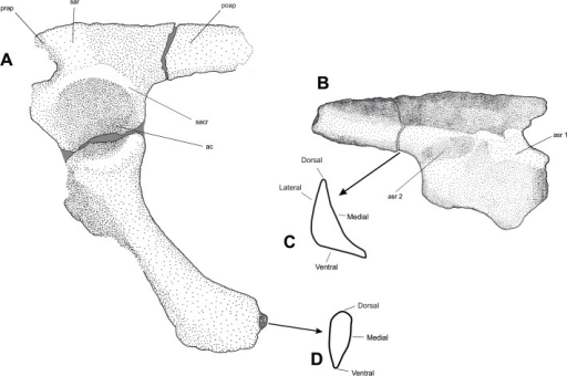 (A) Composite illustration of the left ilium with thee better preserved right ischium in articulation; (B) illustration of the ilium in medial view; (C) cross-section of the ilium in posterior view; (D) cross-section of the ischium in distal view.Abbreviations: as Fig. 2 plus: asr 1, articulation site for the sacral rib of the first sacral vertebra; asr 2, articulation site for the sacral rib of the second sacral vertebra. Damaged areas in grey.