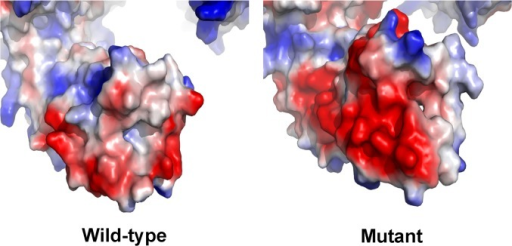 The electron-density distribution of the predicted C-terminus of the wild-type and mutant LAMB3 protein.The predicted C-terminal end are shown by electrostatic potential surfaces, which are differed extensively between the wild-type and mutant LAMB3 protein (blue represents positive potential; red, negative; white, neutral).