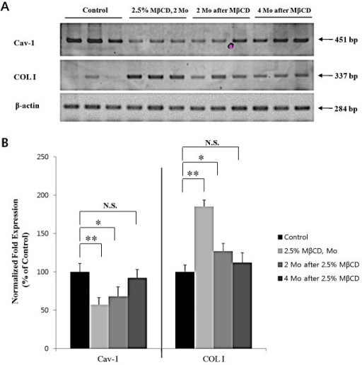 MβCD-induced up-regulation of COL I is maintained for several months in mouse skinAfter last injection of 2.5% MβCD injection for 2 months, Cav-1 and COL I expression levels in the skin of hairless mice (2.5% MβCD, 2 Mo, n=3) were checked by (A) RT-PCR and (B) real-time PCR. Also, Cav-1 and COL I levels were checked at time-lapse of 2 months (2 Mo after MβCD, n=3) and 4 months (4 Mo after MβCD, n=3) after the last injection of 2.5% MβCD, respectively. Statistical significance was analyzed using a one-way ANOVA, followed by post-hoc comparisons of group means using Tukey's test. *P < 0.05, **P < 0.01. N.S.: no significant difference. Control indicates the saline-injected mice, instead of 2.5% MβCD.