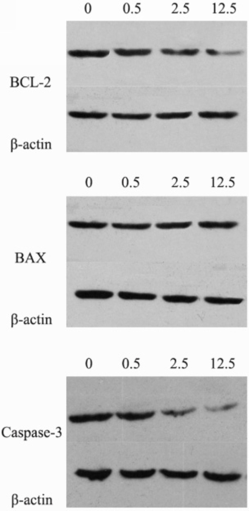 The protein expression levels of BCL-2, BAX and caspase-3 after the treatment of luteolin (0, 0.5, 2.5, 12.5 μg/mL, respectively) for 24 hours. 0: control group; 0.5: Luteolin (0.5 μg/mL); 2.5: Luteolin (2.5 μg/mL); 12.5: Luteolin (12.5 μg/mL)