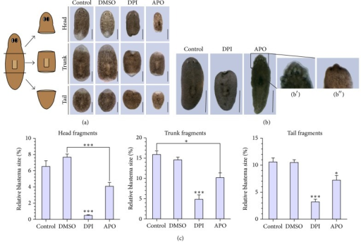 Phenotypical characterization during DPI and APO exposure. (a) The effect of DPI (3 μM) and APO (400 μM) exposure on regenerating head, trunk, and tail fragments after 7 days of regeneration. Animals kept in cultivation medium or a solution of 0.01% DMSO regenerated normally (n = 10), while worms exposed to DPI failed to form proper blastemas and photoreceptors (heads: 3/3, trunks: 6/7, tails: 6/6), with a survival rate of 3/10 for the head fragments, 7/10 for trunk fragments, and 6/10 for tail fragments after 7 days of DPI exposure. Additional experiments showed that DPI exposure also diminished blastema formation in a concentration-dependent manner. APO exposure induced similar regeneration defaults, including reduced blastema formation and degeneration of the photoreceptors (3/4 head fragments) or lack of regeneration of the photoreceptors (trunks: 5/5, tails: 5/5), with one head fragment lethality at 7 days post amputation. Scale bar: 500 μm. (b) The effect of DPI and APO exposure on intact organisms. Head regression was observed in all animals exposed to DPI (8/8). APO exposure resulted in the development of lesions, specifically in the anterior region (8/8). Worms were exposed to both inhibitors for 7 days. b′: close-up of an APO-exposed animal. b′′: close-up of a DPI-exposed animal in an early phase of head regression. Scale bar: 1 mm. (c) Presentation of the relative blastema sizes during DPI or APO exposure in comparison to the control animals in regenerating head, trunk, and tail fragments at 7 DPA. The average relative blastema size for the trunk fragments was obtained using the relative sizes of both the anterior and posterior blastemas. (n = 10 in both control groups, n = 3 DPI-exposed head fragments, n = 7 DPI-exposed trunk-fragments, n = 6 DPI-exposed tail fragments, and n = 5 APO-exposed animals). ∗p < 0.1; ∗∗∗p < 0.01. p values were obtained via one-way ANOVA analysis. Asterisks show the level of significance. If significant differences were observed between the exposed group and just one of the control groups, a connective line is added between the bars. If the differences are significant in comparison with both control groups, the asterisks are placed above the bar of the exposed group.