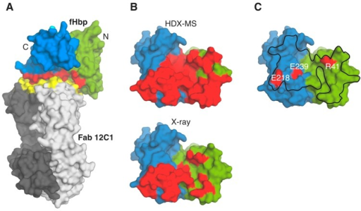 (A) The crystal structure of the complex fHbp-Fab 12C1 (pdb 2YPV) is depicted with green/blue surface for N and C termini of fHbp, and light/dark gray for light and heavy chains of Fab 12C1. The epitope and paratope surfaces are colored in red and yellow, respectively; (B) Surface representations of fHbp (colored as in panel A), allowing comparison of the Fab 12C1 epitope (red patch) as revealed by HDX-MS (top) and X-ray crystallography (bottom). For clarity, the surface of fHbp only is shown, after re-orientation (~90° about the Y-axis) of the view in A; (C) Surface locations of fHbp residues (red patches, labeled) which when mutated to Alanine inhibit human fH binding. The entire interface of the interaction with fH on the surface of fHbp is outlined with a black line, as revealed previously [41].