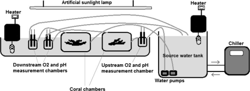 The experimental set up.Seawater collected from the study site was pumped from the source-water tank through the system at a constant rate of about 0.5 l. min−1. Oxygen concentration (mg. l−1) and pH were recorded upstream and downstream the coral chambers every 5 min. 6,500 lux light (i.e. about 120 µ mol. m−2 .s−1) was provided by an artificial sunlight lamp (Dymax Rex-2). Water temperature was controlled by heaters (Lauda E100, with accuracy of ± 0.1 ° C) and a chiller (Aqua medic Titan 1500, with accuracy of ±0.5 °C). Net photosynthesis or respiration rate of corals was calculated in light and dark conditions as the difference in O2 concentration between the upstream and downstream chamber multiplied by the flow rate. The measured metabolic fluxes were not affected by gas exchange with the atmosphere since the measurement and sample chambers were in a closed circuit and water was exposed to air only in the source tank.