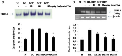 Effect of ellagic acid on activity and expression of LDH- A. a In gel assay showing LDH-A activity. b RT-PCR analysis showing mRNA expression of LDH-A. Values are expressed as mean ± SD, * indicates that groups differ significantly from DL at the level of significance p < 0.05 using one way ANOVA followed by Tukey test. N, DL, DLT40, DLT60 and DLT80 represents normal, Dalton's lymphoma bearing, and Dalton's lymphoma bearing mice treated with 40, 60, 80 mg/kg body weight of ellagic acid respectively