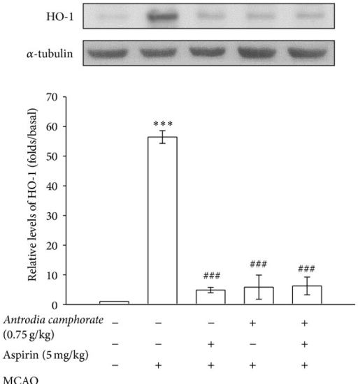 Effects of the extracts of A. camphorata combined with aspirin on the expressions of HO-1 in cerebral homogenates 24 h after thromboembolic stroke in rats. Data are presented as the mean ± S.E.M. ∗∗∗P < 0.001, compared to the sham-operated group, and ###P < 0.001, compared to the MCAO group.