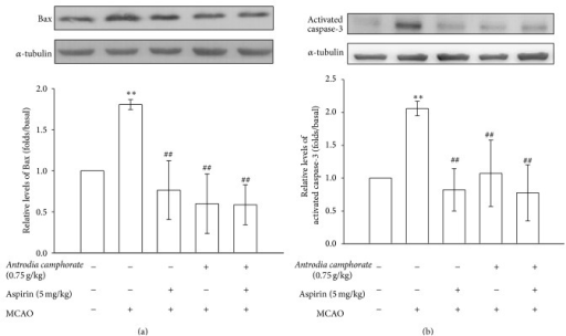 Effects of the extracts of A. camphorata combined with aspirin on the expressions of (a) Bax and (b) caspase-3 in cerebral homogenates 24 h after thromboembolic stroke in rats. Data are presented as the mean ± S.E.M. ∗∗P < 0.01, compared to the sham-operated group, and ##P < 0.01, compared to the MCAO group.