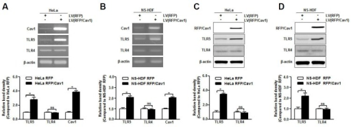 Caveolin-1 may be a crucial TLR5 mediator. Caveolin-1 was overexpressed in HeLa and NS-HDF cells using a lentivirus (LV) carrying RFP-caveolin-1 (RFP/Cav1). (A, B) Caveolin-1, TLR4, and TLR5 mRNA levels in caveolin-1 over-expressed HeLa and NS-HDF were analyzed by RT-PCR with specific primers, respectively. (C, D) Caveolin-1, TLR4, and TLR5 protein expression in caveolin-1 overexpressed HeLa and NS-HDF was detected by Western blotting with specific antibodies. The β-actin was used as the loading control for both RT-PCR and Western blotting. The relative density of protein expression and mRNA levels were normalized to β-actin and represented by quantitative graphs. Data are presented as mean ± SD from five independent experiments; *p < 0.05; ns, not significant.