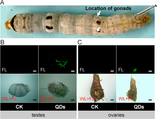 (A)Location of the gonads in silkworm larva. QDs were found in the testes (B) and ovaries (C) by the characteristic green fluorescent. Fifth instar larvae received vascular injection of 0.32 nmol CdTe QDs per larva (10 μL at 32 μM per individual) at 48 h after molting, whereas the control organisms (CK) were injected with the same volume of pure water. The gonads were removed randomly from male larvae at 24 h and female larvae at 48 h after exposure to QDs. WL + FL, merged images showing white light and fluorescent light. FL, fluorescent light. The green fluorescence of QDs was observed at an emission wavelength of 530 nm using a fluorescence microscope (Olympus BX51, Tokyo, Japan). Bar = 100 μm.
