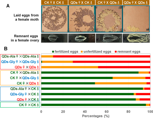 Effects of QDs on oviposition and fertilization.(A) Type of egg laid and remaining eggs in the ovaries. (B) Egg-laying habits and fertilization of eggs. Fifth instar larvae received vascular injection of 0.32 nmol CdTe QDs per individual (10 μL at 32 μM) at 48 h after molting, whereas the control organisms (CK) were injected with the same volume of pure water. The larvae were reared on fresh mulberry leaves at 25 °C with a photoperiod of 12 h light and 12 h dark until they became adult moths. The female adults were mated for 4 h with descriptive mates and then laid eggs 24 h. Next, the ovaries were removed from the female moths to determine the remaining eggs. The yellow unfertilized eggs and puce fertilized eggs were measured at 72 h after oviposition. n = 5 pairs.