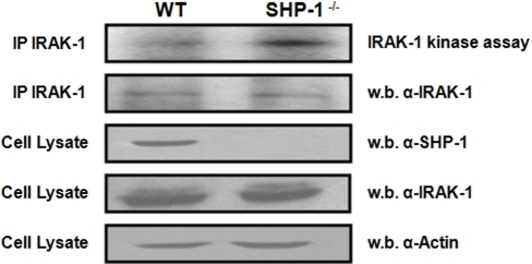 Regulation of IRAK-1 kinase activity by SHP-1.Upper Panel represents an in vitro kinase assay comparing the basal kinase activity of IRAK-1 in WT littermates versus Ptpn6me/me MØ (SHP-1−/−). A fraction of the IP was kept and subjected to a western blot as a control for equal IRAK-1 IP (2nd panel from top). Cell lysates of WT and SHP-1−/− MØs were blotted for SHP-1 to demonstrate the presence/absence of the SHP-1 protein (3rd panel from top). The membrane was stripped and reblotted for IRAK-1 to monitor its expression level in both cell lines (4th panel from top). Actin levels are shown as loading controls (bottom panel). All results are representative of at least three independent experiments.