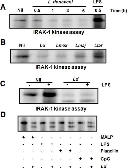 Inhibition of LPS-induced IRAK-1 kinase activity by Leishmania.(A) Kinase assay performed on IRAK-1 IPs from lysates of MØs uninfected and infected with L. donovani over a 6 h time-period. LPS stimulation (100 ng/ml, 30 min), positive control. (B) IRAK-1 kinase activity detected in IPs from lysates of MØs infected or not with pathogenic Leishmania species (L. donovani, L. mexicana, L. major) (20∶1 parasite to cell ratio, 1 h). Non-pathogenic lizard L. tarentolae was used as negative control. (C) Kinase assay of IRAK-1 IPs from lysates of naïve and L. donovani-infected MØs (O/N infection) subjected or not to LPS stimulation (100 ng/ml, 30 min). (D) IRAK-1 kinase activity in IPs from naïve and L. donovani-infected MØs (O/N infection) stimulated or not with various TLR ligands (MALP (100 ng/ml), LPS (100 ng/ml), flagellin (100 ng/ml), CpG (5 µg/ml); 30 min). All results are representative of at least three independent experiments.