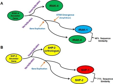 Evolution of vertebrate IRAK-1 and SHP-1 from IRAK-4 and SHP-2 ancestor genes.Schematic representation of the appearance of IRAK-1 and SHP-1 from gene duplication events of the IRAK-4 (A) and SHP-2 (B) ancestor genes, respectively. The emergence of the KTIM in IRAK-1 occurred after this gene duplication event took place as the motif only appeared in amphibians. Similarity percentages were calculated using the mouse IRAK-1 and IRAK-4 sequences.