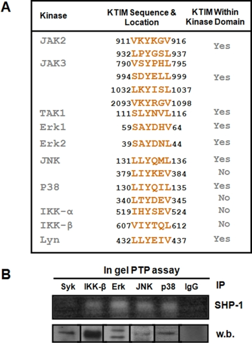 Several kinases possess KTIMs.(A) Table showing that several kinases from the JAK, MAP, Src, and IKK kinase families possess potential KTIMs in their amino acid sequences. Screening was done using published mouse protein sequences found in the NCBI protein database. (B) An in gel phosphatase assay (upper panel) demonstrating that IPs of IKK-β, Erk1/2, JNK, and p38 all exhibit SHP-1 activity. Syk IP was added as a control for a kinase that has no KTIM in its sequence and rabbit IgG was used as a negative control. Fractions of all IPs were kept and run on SDS-PAGE and blotted against their corresponding antibody to demonstrate the success of the IP procedure (lower panel).