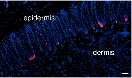 MC are densely represented in the swine snout.MCs labeled by CK20 immunostaining (in red) appear abundant in the basal layer of the epidermis of swine snout. Conversely, less than 50 MCs/mm2 were found in human glabrous skin. Nuclei were stained in blue with DAPI. (Scale bar, 50 µm).