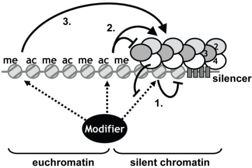 A competition model for positive and negative roles of euchromatic histone modifications in heterochromatin formation. Euchromatic histone modifications can have positive roles (arrows) and negative roles (blunt arrows) in heterochromatin formation. Competition between euchromatic histone modifiers and heterochromatin proteins for interactions with nucleosomes can occur at three locations and can have different outcomes (see text). 1) Competition within heterochromatin regions creates a semi-stable epigenetic state. 2) Competition at the interface between euchromatin and heterochromatin prevents local spreading of the Sir complex, thereby on the one hand avoiding ectopic silencing of regions adjacent to heterochromatin and on the other hand ensuring availability of limiting silencing proteins for the endogenous heterochromatic regions. 3) Competition throughout euchromatin prevents non-specific binding of the Sir2/3/4 complex to bulk chromatin, thereby enhancing targeting of Sir proteins to endogenous heterochromatic regions to ensure sufficient spreading of the Sir complex. By these mechanisms, the function of a euchromatic histone modification in gene silencing depends on the relative contribution that it makes to each of these mechanisms and to what extend the negative and positive functions counteract each other.