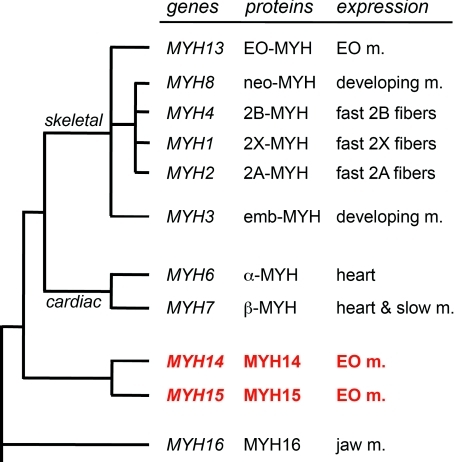 Scheme illustrating the evolutionary relationships among sarcomeric MYH genes in mammals, with the corresponding protein products and their expression patternThe phylogenetic tree on the left is modified from that of the human MYH head domain (see McGuigan et al. 2004; Ikeda et al. 2007). Spacing and length of the branches do not reflect actual scale in this simplified scheme.