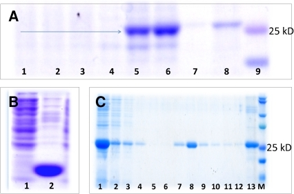 Expression of HA63–286-RBD in E. coli.(A) Protein profile of cell lysates from culture experiments of E. coli C41, BL21 (DE3) pLysS or Rosetta-gami transformed with genes to produce (1) GFP+histidine tag (clone C41 1); (2) GFP+histidine tag (clone C41 2); (3) GFP+histidine tag (clone C41 3); (4) negative control, C41(5) HA63–286-RBD (clone C41 1); (6) HA63–286-RBD (clone C41 2); (7) HA63–286-RBD (clone Rosetta-gami clone 1); (8) HA63–286-RBD (clone Rosetta-gami clone 2). (9) Precision Plus Kaleidoscope molecular mass ruler showing 25 kD (pink) and 20 kD (blue) bands. The blue arrow indicates the 26 kD band corresponding to HA63–286-RBD. (B) SDS-PAGE showing (1) the soluble and (2) insoluble fraction of the C41 strain lysate after 8 hours induction with 1mM IPTG. (C) SDS-PAGE showing the protein profiles at different stages of recovery, purification and on-column refolding. (1) Crude lysate of the 8M urea solubilized inclusion bodies, (2) Unbound fraction, (3) 1st wash step, (4) 2nd wash step, (5,6) refolding steps, (7–12) Elution fraction using imidazole 300 mM, (13) chromatographic resin. (M) Precision Plus Kaleidoscope molecular mass ruler.