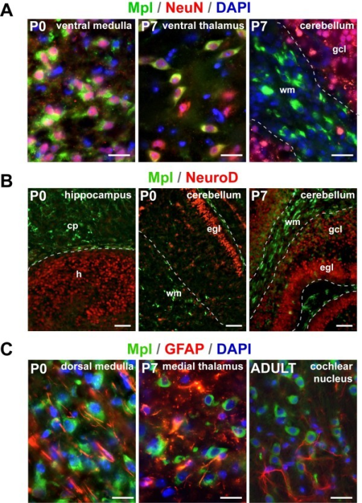 Characterization of Mpl-positive cells. (A) Co-localization of Mpl and the pan-neuronal marker NeuN. Almost all Mpl-positive cells (green) are NeuN+ neurons (red) with the exception of cerebellar white matter. (B) Double-labelling of sections for Mpl and NeuroD, an early marker of granule cells. Mpl (green) does not overlap with NeuroD (red) in the cerebellum or in the hippocampus. (C) Expression of Mpl and the astrocyte marker GFAP in different brain regions at P0, P7 and in the adult brain. There is no overlap between Mpl (green) and GFAP (red). cp - cortical plate; egl - external granule layer; gcl - granule cell layer; h - hippocampus; wm - white matter. Scale bars: 20 μm in A and B, 50 μm in C.