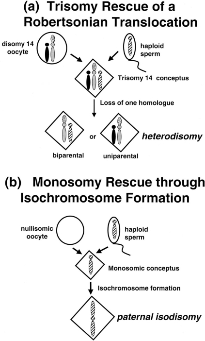 Common mechanisms resulting in uniparental disomy involving acrocentric chromosomal rearrangements. (a) Trisomy rescue of a trisomy conceptus from a Robertsonian translocation carrier results theoretically in UPD in 50% of cases. Since the non-disjunction must occur in meiosis I, the resulting UPD would be heterodisomic. (b) Monosomy rescue of a monosomic conceptus resulting from meiosis I nondisjunction and fertilization of a isomic gamete. Duplication (through isochromosome formation) of the only copy of a homologue would result in isodisomy in 100% of cases. Since the majority of nondisjunction occurs in maternal meiosis, most cases of isochromosomes arising through this mechanism would result in paternal isodisomy.
