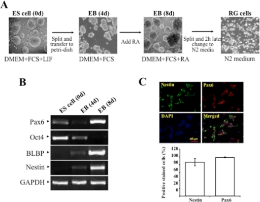 Induction of radial glial cells from embryonic stem cells.(A) Morphological changes of neural differentiation from ES cells. (B) Altered mRNA expression of ES cell markers (Oct4) and radial gial cells markers (nestin, BLBP and Pax6). (C) Staining for radial gial cells markers. ES cells growing on gelatin-coated plates were dissociated and transferred to nonadherent bacterial dishes to form embryonic body. After 4-day of embryonic body formation, 5 µM retinoid acid was added to the culture media and cells were allowed to grow for another 4 days. Embryonic bodies were dissociated after a total of 8-day induction and plated to poly-D-lysine/laminin-coated dishes in N2 medium. N2 medium is changed after 2 h. Cell samples were collected before and after the 4 days and days induction as shown as ES (0 d), EB (4 d) and EB (8 d) respectively. Photos of RG cells were taken 6 h after passage. Total RNAs were extracted at indicated time points and altered expressions of cell lineage-specific markers were monitored by RT-PCR. Cells were immunostained with antibodies specific to Nestin (green) and Pax6 (red). Cell nuclei were stained by DAPI (Blue). Results were plotted as a percentage of positively stained cells with Nestin and Pax6 antibodies vs numbers of DAPI-positive nuclei.