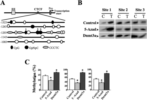 "Identification of methylation sites within CTCF binding motifs.(A) Putative methylation sites in the region of CTCF binding motifs upstream from Pax6 promoter. (B) Quantitative determination of methylation status at cytosines in CTCF binding sties after inductions of demethylation and methylation. Genomic DNA is treated with sodium bisulfite followed by PCR of the target sequence to generate the template for Ms-SNuPE assays. Methylation statuses were evaluated by the radio of radial incorporation of [32]P-dCTP (representing methylated cytosine) and [32]P-dTTP (representing unmethylated cytosines). DNA methylations were detected by using bisulfite sodium modifications and PCR. Demethylation and methylation were induced by 5-azadCyd (1 µM) and by over-expression of Dnmt3a, respectively. (C) Statistical analysis of methylation percentages in site1–3. Data was shown as mean ±S.E. and represented results from three independent Ms-SNuPE assays. Symbol ""*"" indicates significant differences comparing with cells without treatment. (p<0.05, n = 3)."