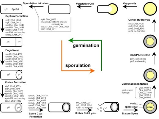 Putative diagram of sporulation and germination events in D. hafniense DCB-2. The proposed genes are based on known developmental and genetic processes of sporulation and germination in Bacillus and Clostridium species. A brief description for each developmental stage and the genes encoding stage-specific enzymes or structural proteins are depicted. Compartment-specific sigma factors are also indicated. Gene homologs in D. hafniense DCB-2 were identified by using BLASTP with cutoff values of 1e-2 (E-value) and 30% identity in amino acid sequence.