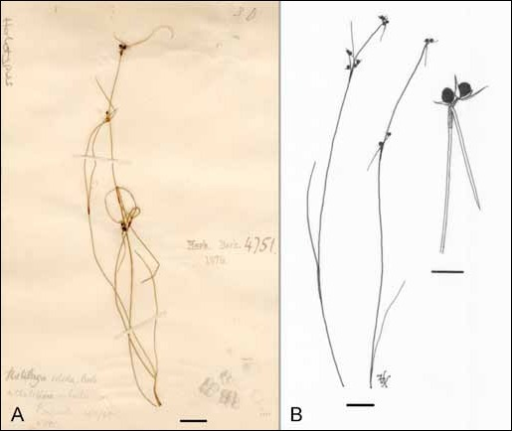 Shivasia solida on Schoenus apogon. A. Holotype of Ustilago solida [K(M) 171338]. B. The habit of infected plants and two enlarged sori (H.U.V. 15059). Bars: A = 1 cm, B = 1 cm and 3 mm, respectively.