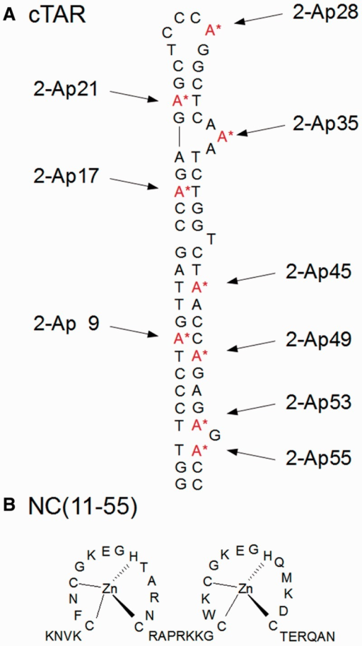 The 2-Ap substituted cTAR (A) and NC(11–55) (B) sequences. The cTAR sequence from the Lai strain of HIV-1 was selectively modified either at position 9, 17, 21, 28, 35, 45, 49, 53 or 55 with 2-Ap.