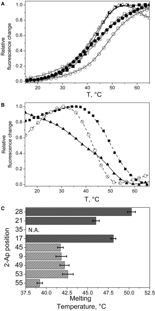 Site-selective monitoring of the thermal melting of the 2-Ap-substituted cTAR sequences. (A and B) Melting curves are monitored through the 2-Ap fluorescence emission. Two types of transitions were observed. (A) Upward melting curves for 2-Ap9 (closed squares), 2-Ap17 (open circles), 2-Ap21 (open squares), 2-Ap45 (open triangles) and 2-Ap49 (closed circles). (B) Downward melting curves for 2-Ap28 (black squares), 2-Ap53 (open circles) and 2-Ap55 (closed triangles). (C) Local melting temperatures recorded for the various 2-Ap positions. The melting temperatures clearly show a lower stability of the lower part of cTAR stem (light grey bars) as compared with the upper cTAR part (dark grey bars). The last ds-segment probed by the 2-Ap55 residue seemed poorly stable. No melting transition was observed for 2-Ap35, (see Supplementary Figure S1) indicating that 2-Ap in the internal loop experienced interactions with its neighbours which are similar to those in single-stranded DNA.