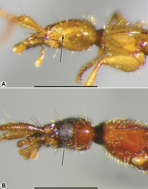 Head and prothorax, lateral aspect, of: ACoarazuphium whiteheadi, new species BZuphioides mexicanum (Chaudoir). Legend: arrow indicates eye. Scale bars = 1 mm.