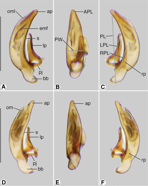 Digital images of male genitalia. A–CCoarazuphium whiteheadi, new species D–FZuphioides mexicanum (Chaudoir). A, D left lateral aspect B, E dorsal aspect C, F right lateral aspect. Legend: ap, apical portion of phallus; APL length of apical portion ; bb, basal bulb of phallus; emf, endophallic terminal microtrichial field; lp, left paramere; LPL, left paramere length; om, ostial membrane; OML, periostial membrane length; pj, parameral juxta; PL, phallus length; PW, phallus width; rp, right paramere; RPL, right paramere length; s, shaft of phallus. Scale bars = 0.5 mm.