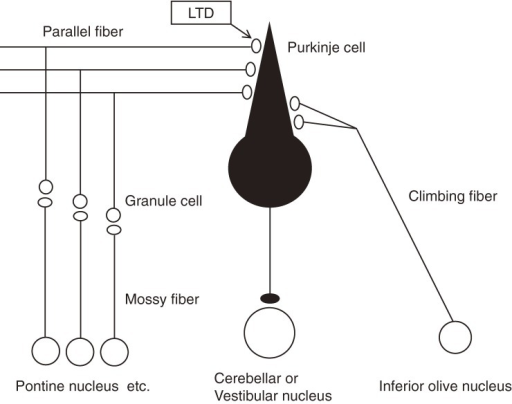 Main cerebellar cortical circuits. LTD occurs at parallel fiber-Purkinje cell synapses.