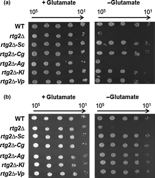 Complementation of rtg2Δ glutamate auxotrophy by Rtg2p homologs. 10-fold serial dilutions of cells expressing the indicated RTG2 genes were spotted to -Trp synthetic dropout media with and without glutamate. Growth was scored after 3 days of growth at 30 °C. Complementation profiles for Rtg2p homologs expressed from the native RTG2 promoter are shown in (a); complementation profiles for Rtg2p homologs expressed from the constitutive GPD promoter are shown in (b).